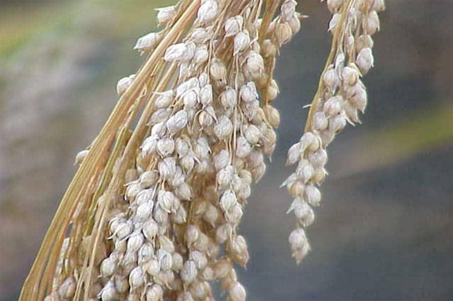 Pluimgierst (Panicum miliaceum)