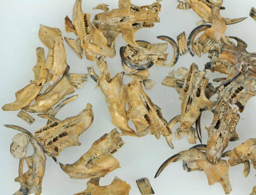 Muizenskeletjes die in de kan werden aangetroffen
